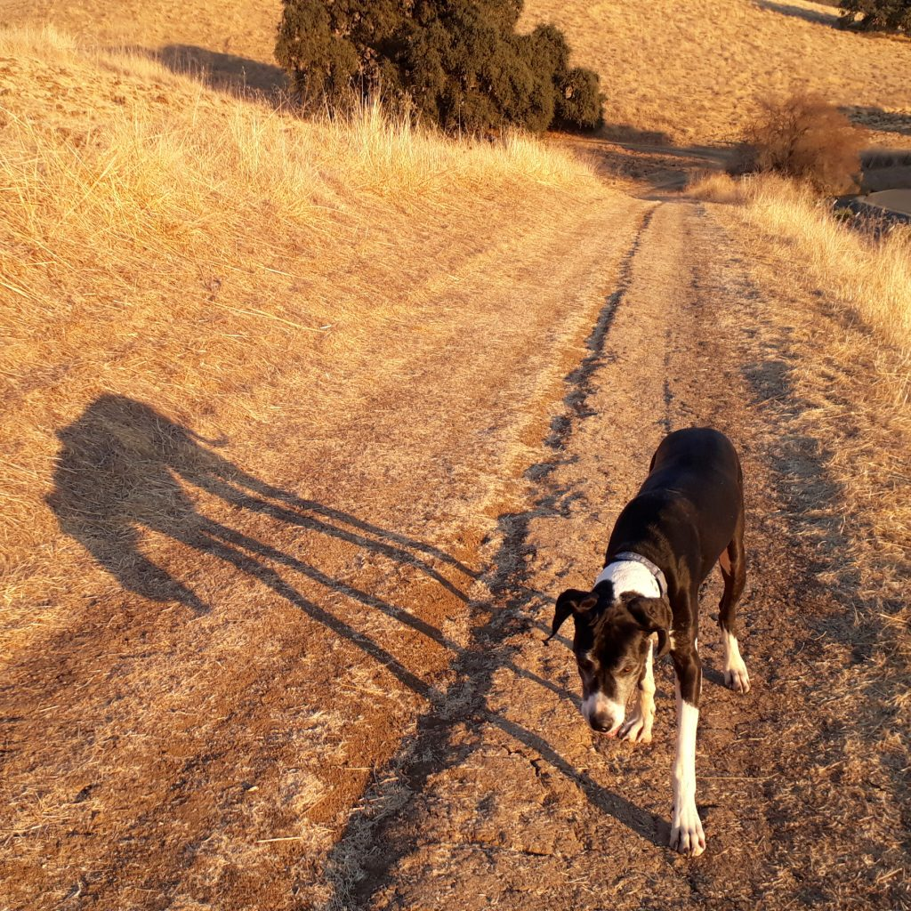 Katie the Great Dane walking along side her shadow